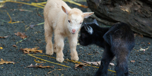 Goat Kids - Beardsley Zoo - Bridgeport, CT